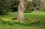 daffodils trees