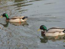 2 ducks swimming